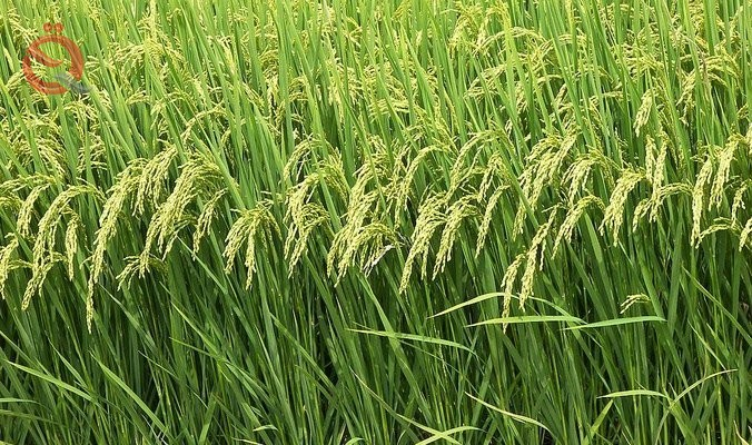 Central Bureau of Statistics: Iraq's crop fell by more than 90% 13076