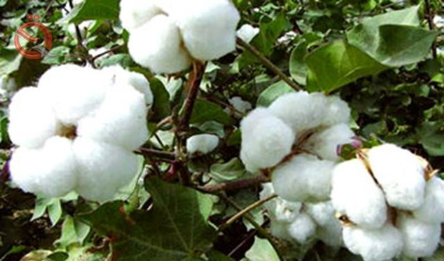 Agricultural statistics: the decline of cotton production in Iraq to 49 tons in 2018 13130