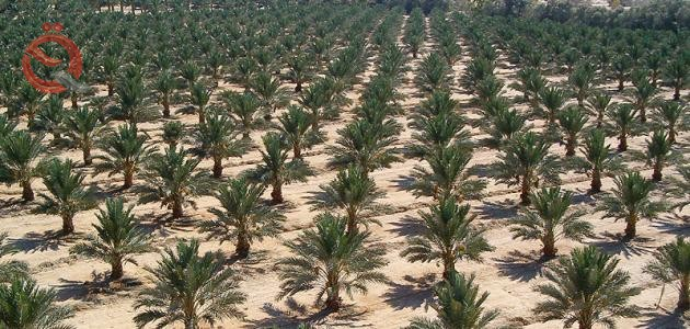 Iraq announces plan to grow one million palm trees 14527