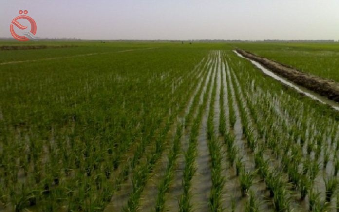 The Minister of Commerce: The campaign to market rice has exceeded 150,000 tons 18317