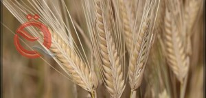 Iraq is achieving self-sufficiency in wheat and preparing to export barley 23028