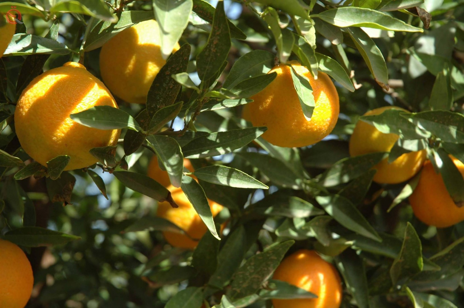 Increase in the production of citrus trees in Iraq for the current year 23042